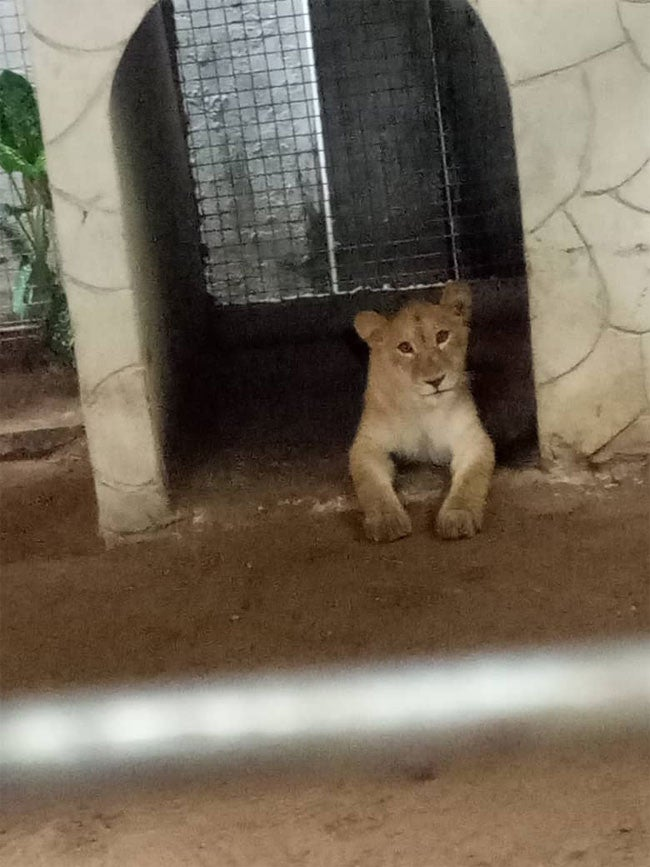 Lion Discovered, Photos: Lion Discovered In A Residential Building In Lagos