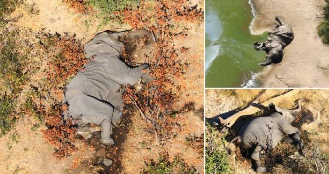 Elephant, Panic As 350 Elephants Die Mysteriously In Botswana