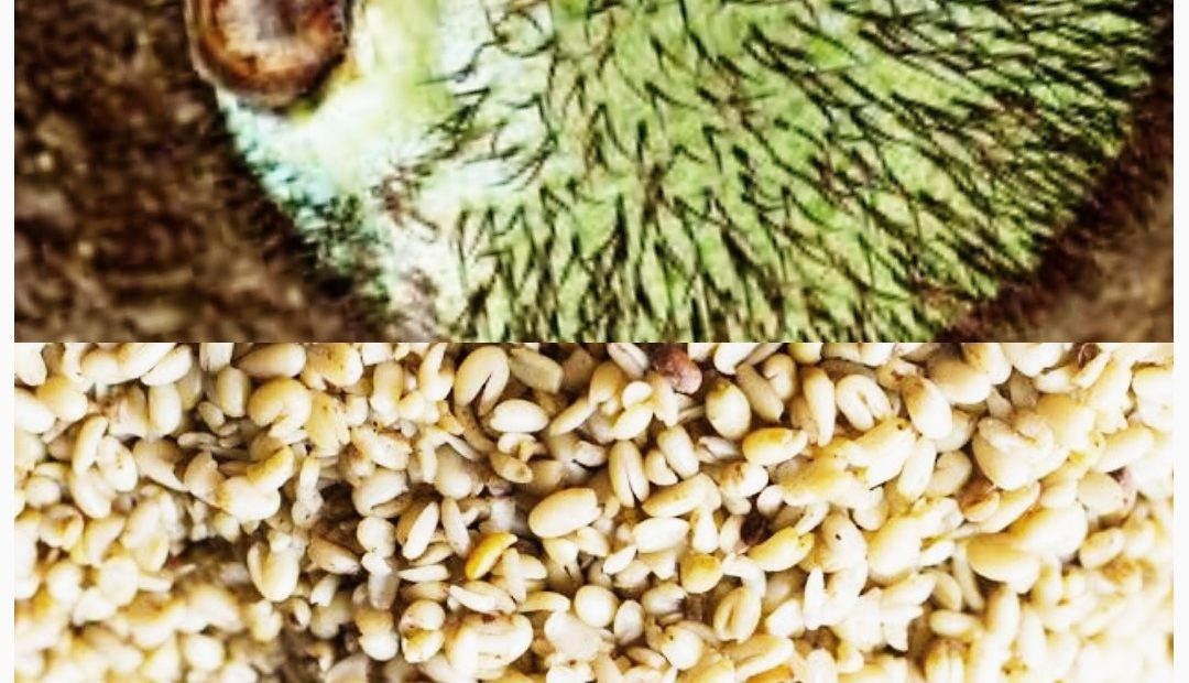 HOW TO PROCESS AFRICAN BREADFRUIT